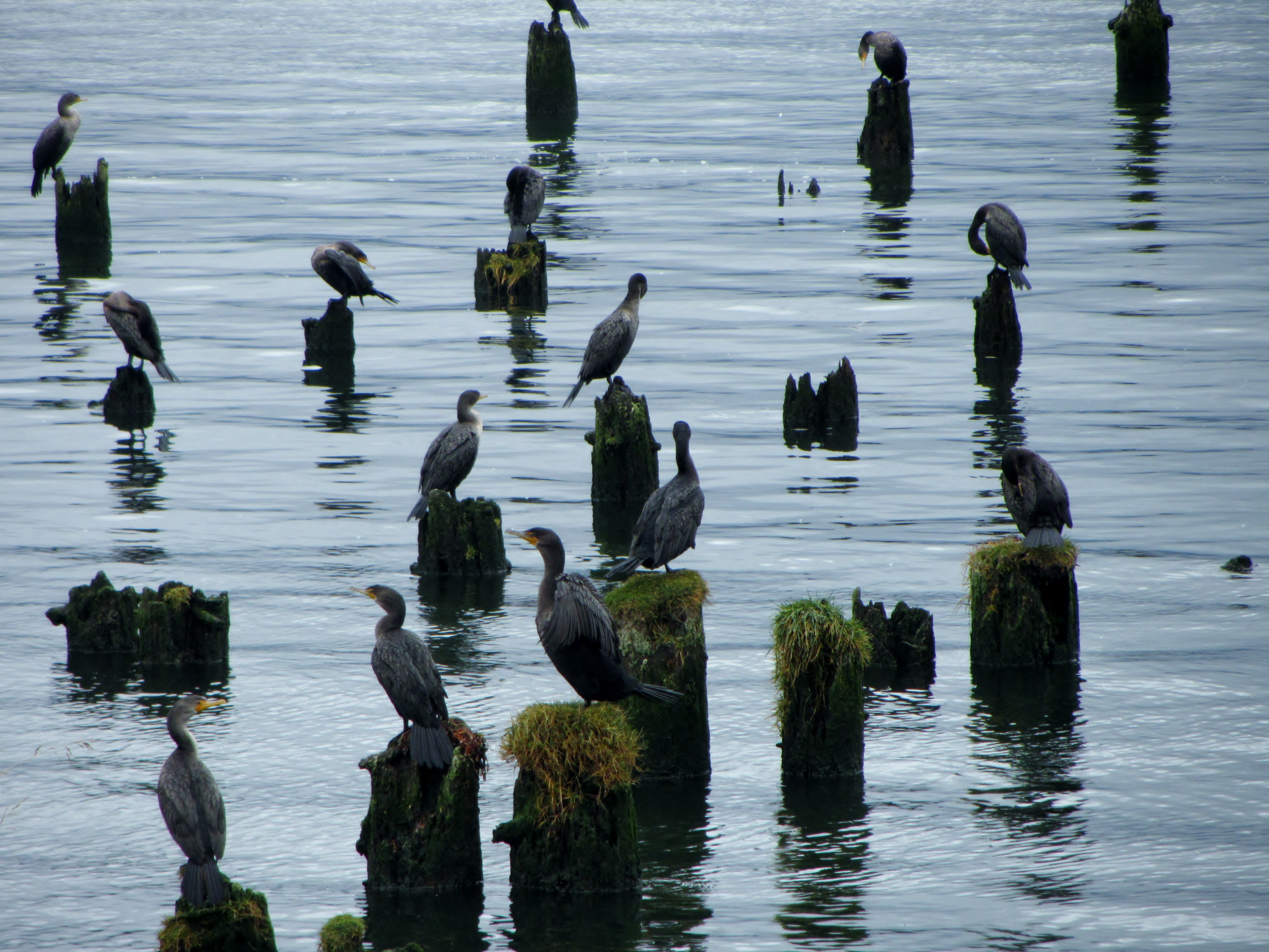 Cormorant on old pilings, Astoria, Oregon, Columbia River