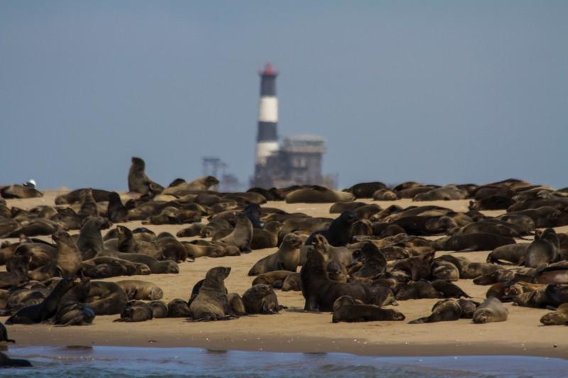 Cape Fur Seals, Walvis Bay, Namibia
