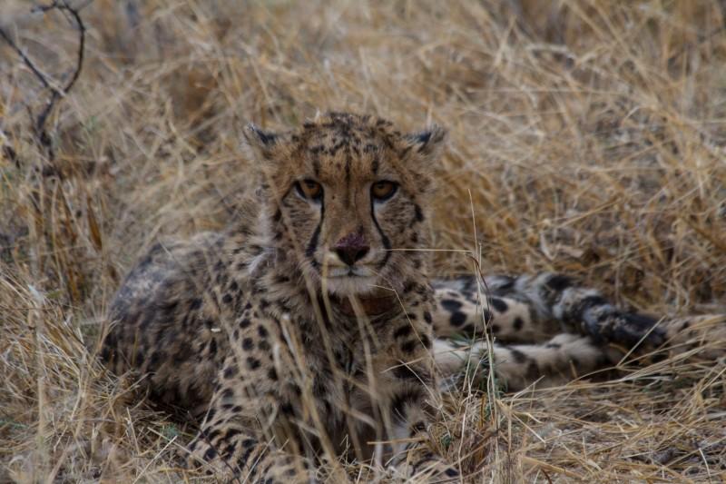 Pins, Cheetah at AfriCat in Okonjima, Namibia
