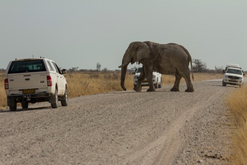 African Bull Elephant and Cars
