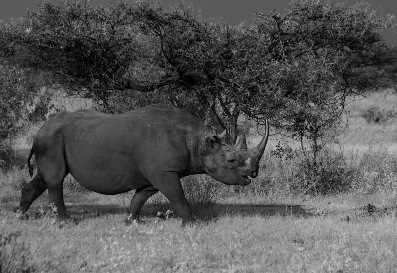 Black Rhino in Etosha National Park, Namibia