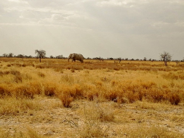 Grasslands with Bull Elephant