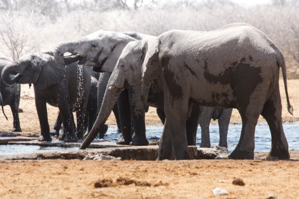 African elephants, now endanger of disappearing within a decade because of poaching to fund terrorist groups and  to satiate an unholy thirst for ivory.