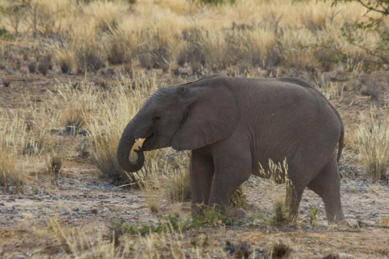 Baby desert adapted elephant