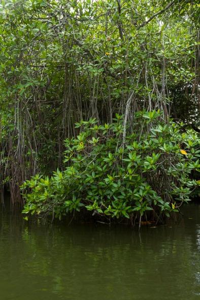 Mangrove Forest, Madu Ganga Wetland, south-west Sri Lanka