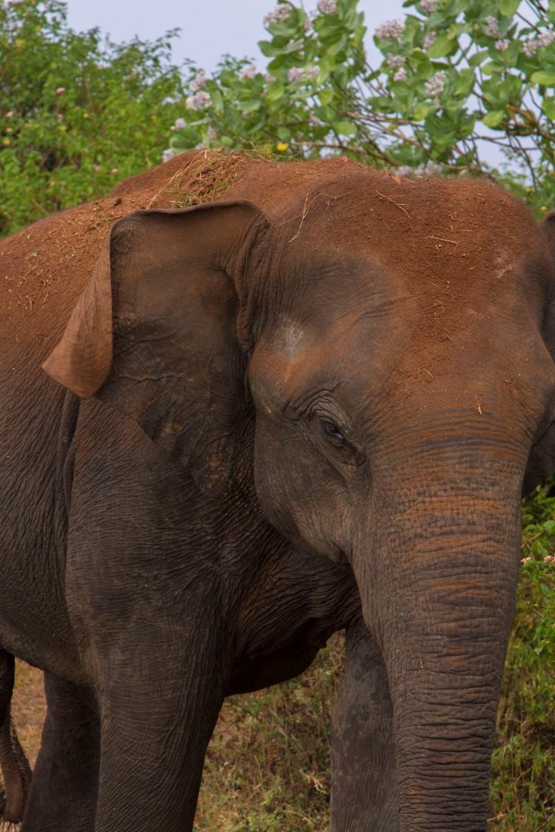 Sri Lankan Elephant, Udawalawe National Park, Sri Lanka