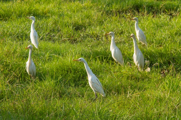 Egrets fascinated by the  pair of dancing rat snakes.