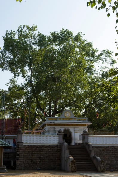 The Bodhi Tree, over 2300 years old.