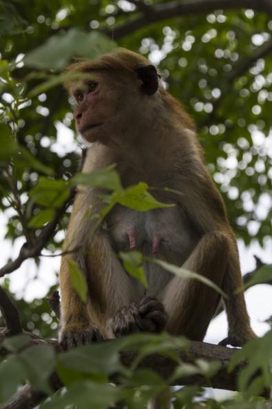 Toque macque fremale resting in tree, near Dambula Caves, Sri Lanka