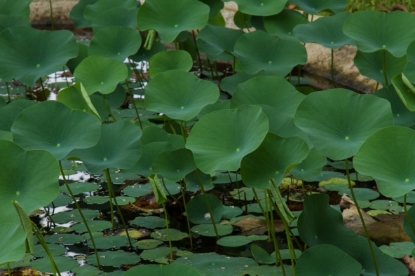 Lotus leaves in a pond in Sri Lanka stand above the surface of the water.