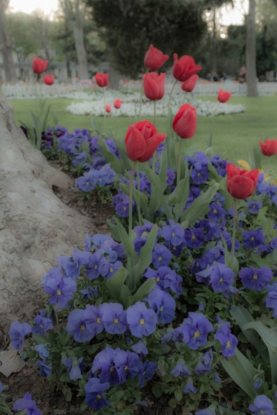 Tulips and Pansies