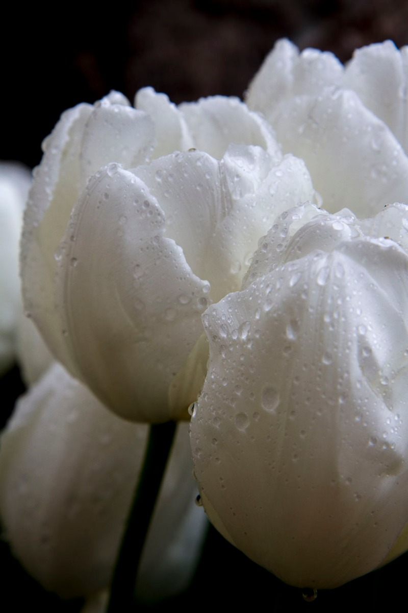 White tulips after the rain, Istanbul, Turkey