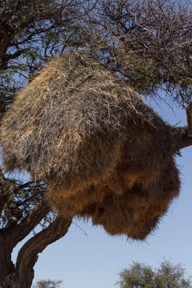 Sociable Weaver nest, Namibia.