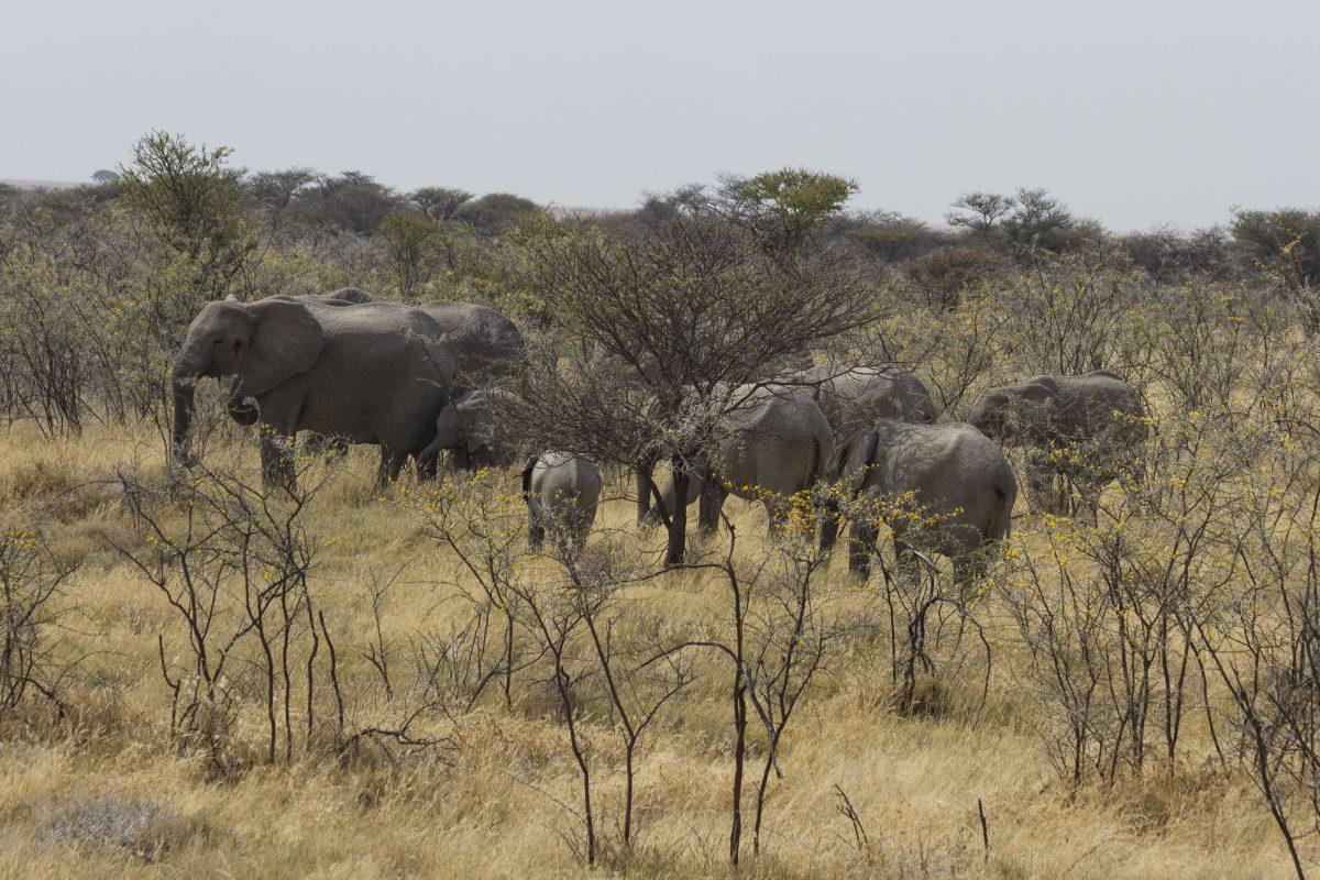 Elephant Herd Grazing in the Acacia