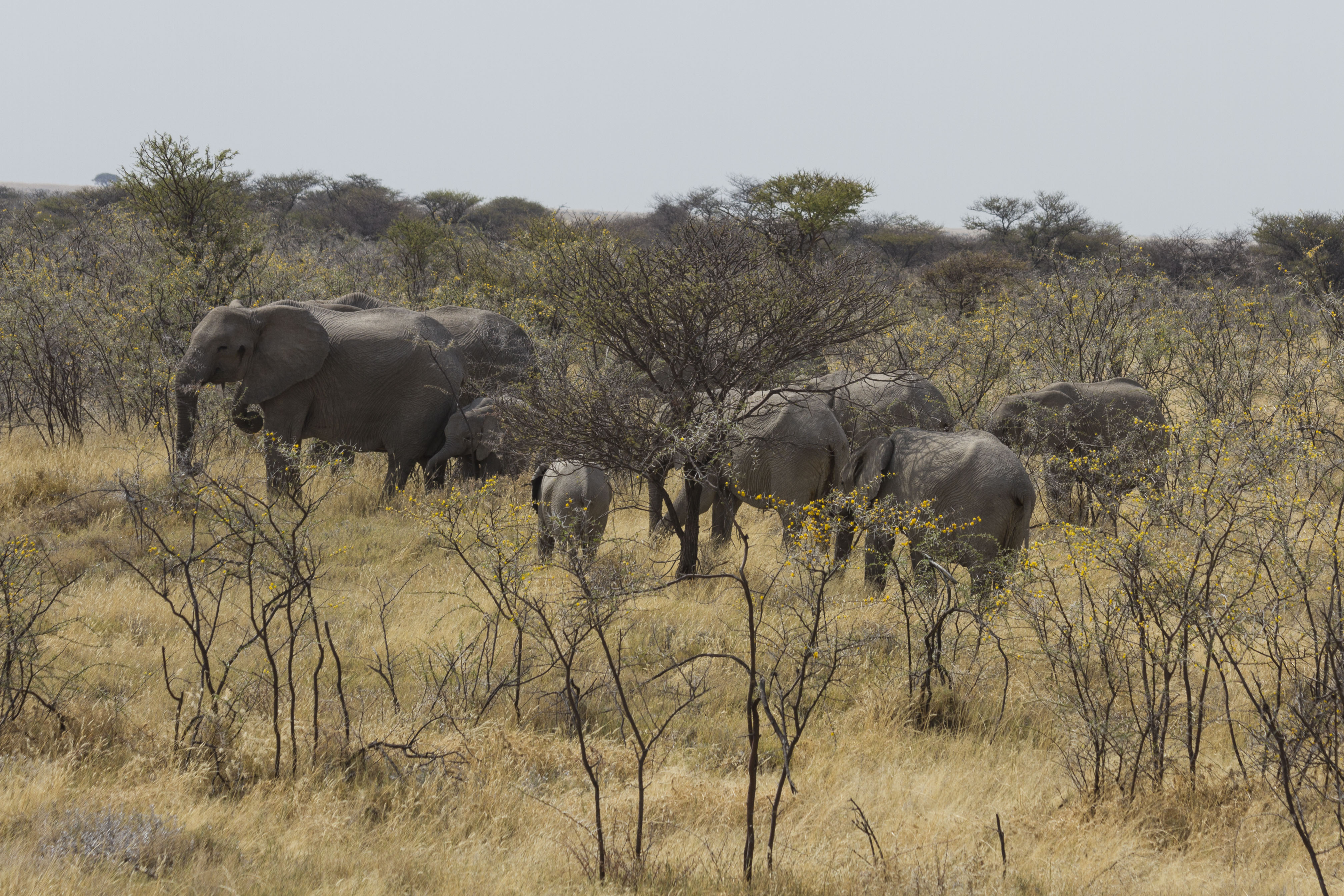 Elephant Herd Grazing in the Acacia