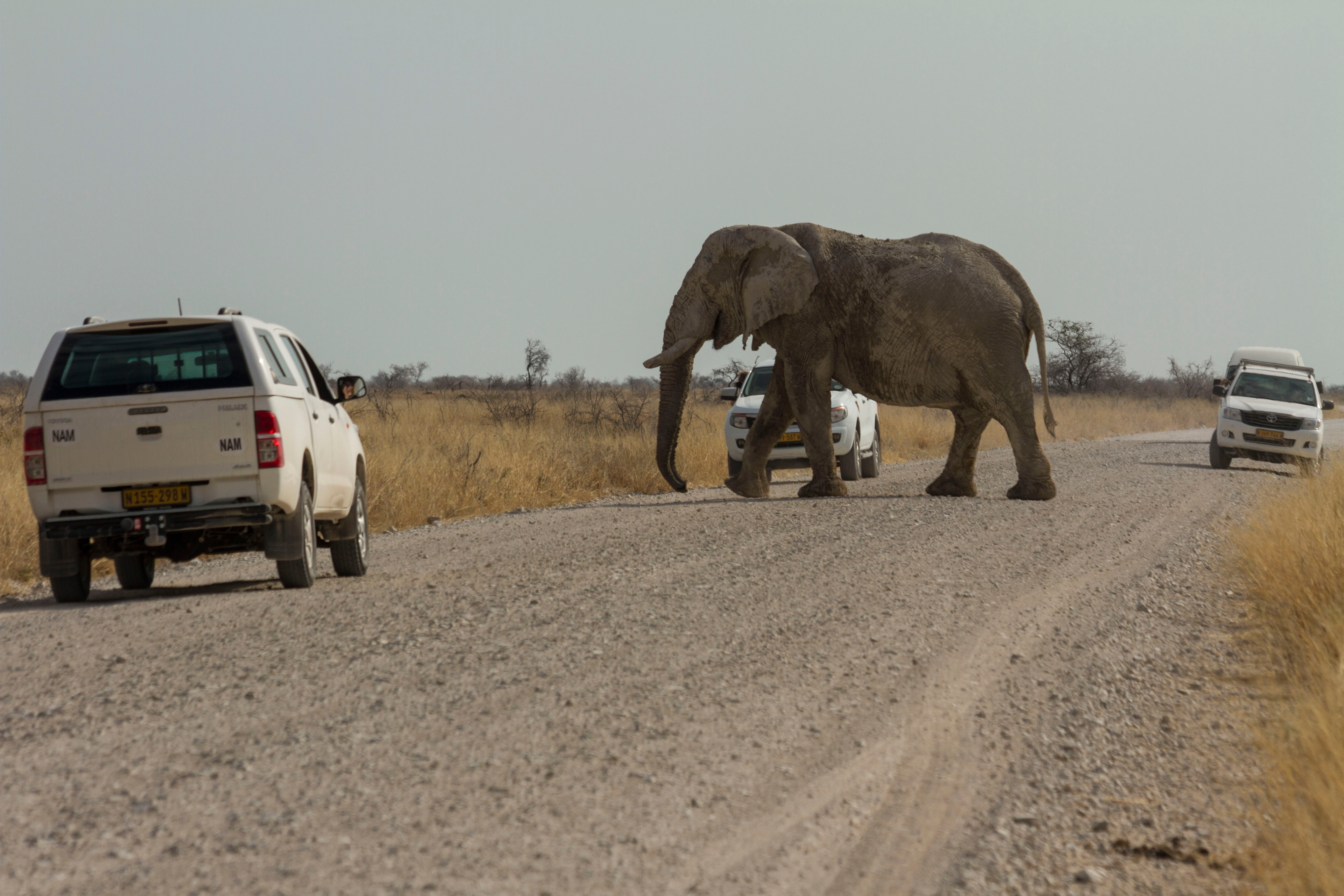 Why Does an Elephant Cross the Road?