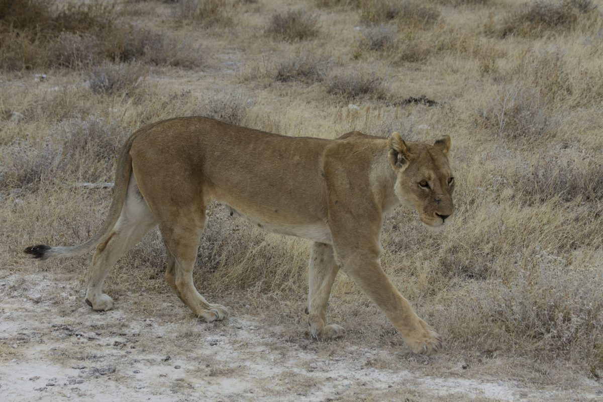 Young Lion in Etosha National Park