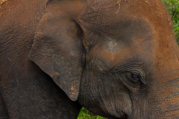 Sri Lankan Elephant, Yolo National Park, Sri Lanka