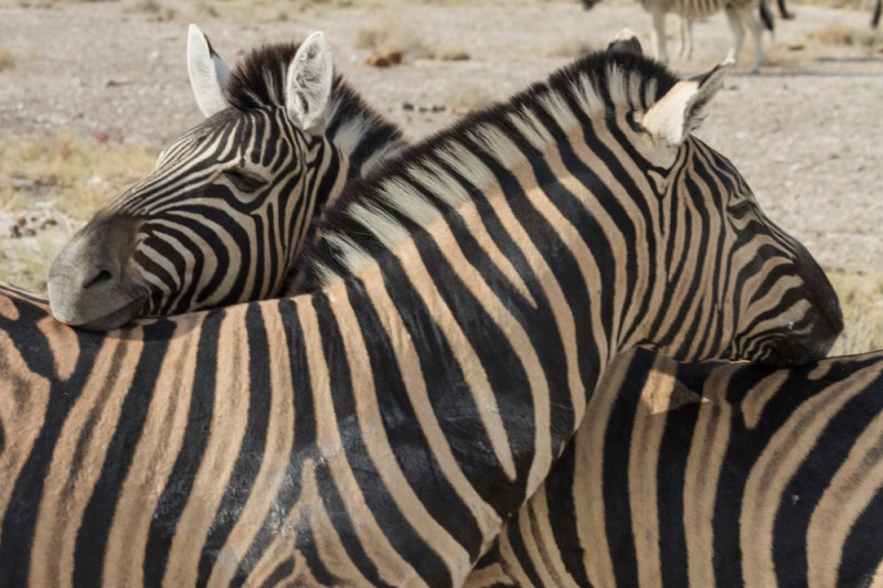 Zebra Connection