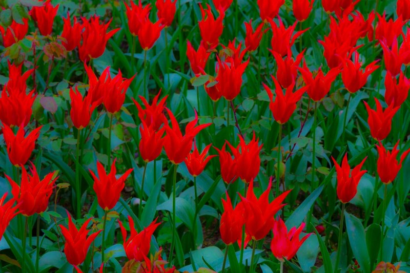Electric Tulips