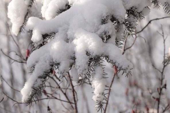 Snow covered branch, near North Pole, Alaska