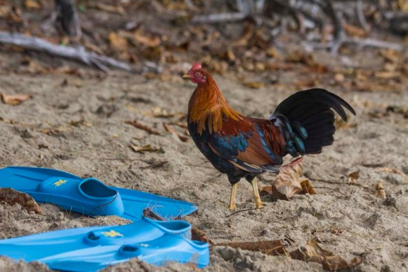 Wild chicken on the beach, Kauai, Hawaii.