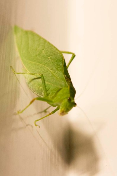 Katydid or Leaf Bug