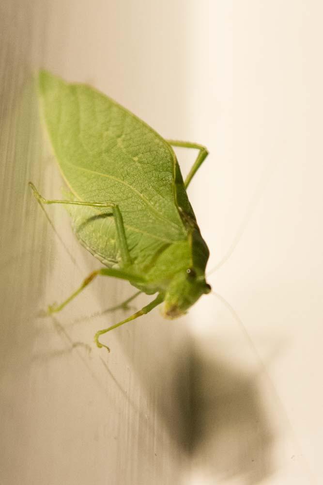 Katydid or Leaf Bug