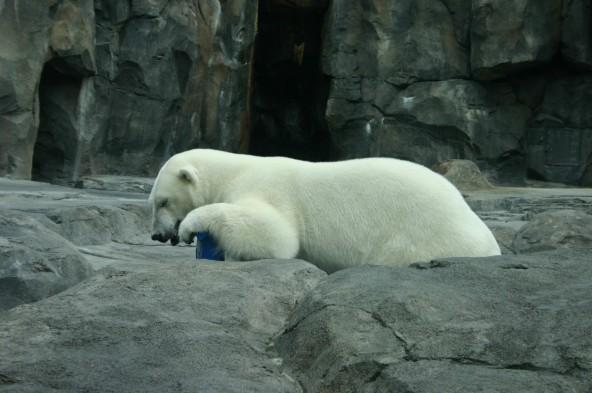 Polar bear taking a nap. Anchorage Zoo, Anchorage Alaska.