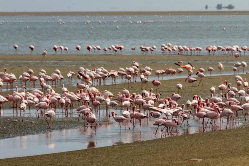 Flamingos at Walvis Bay, Namibia.