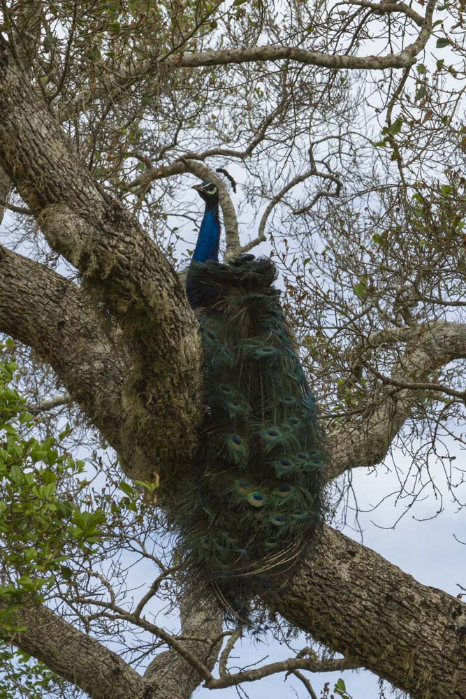 Peacock in Paradise