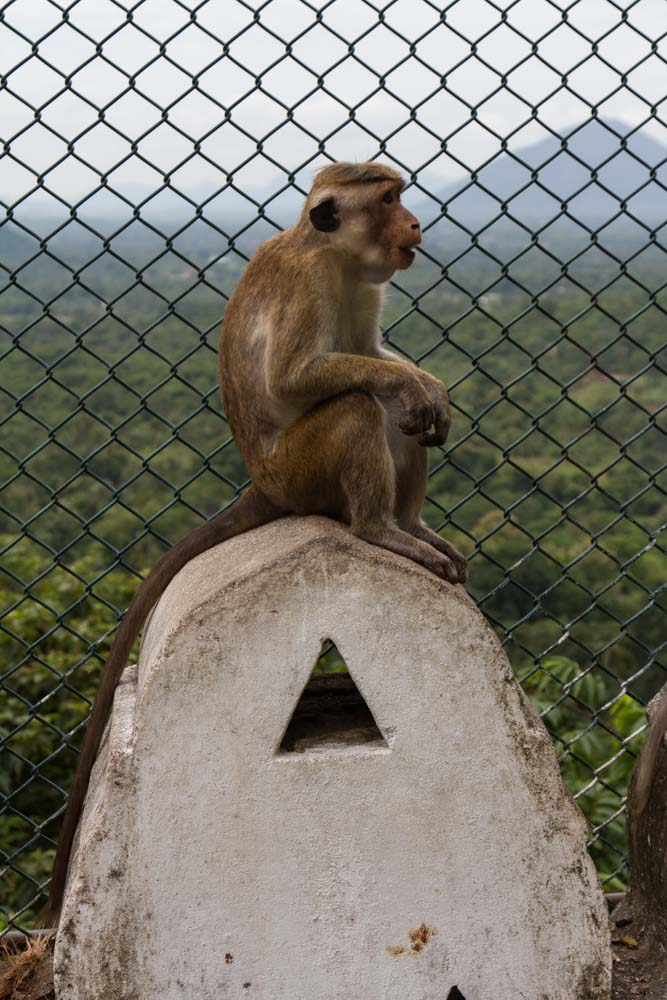 Toque Macaque along fence line, Dambulla Caves, Matale Region, Sir Lanka