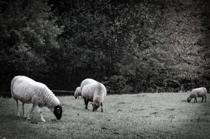 Grazing Sheep, Hesse Park, Near Frankfurt, Germany