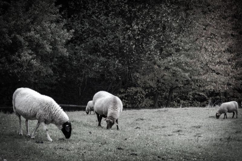 Grazing Sheep, Hesse Park, Near Frankfurt, Germany