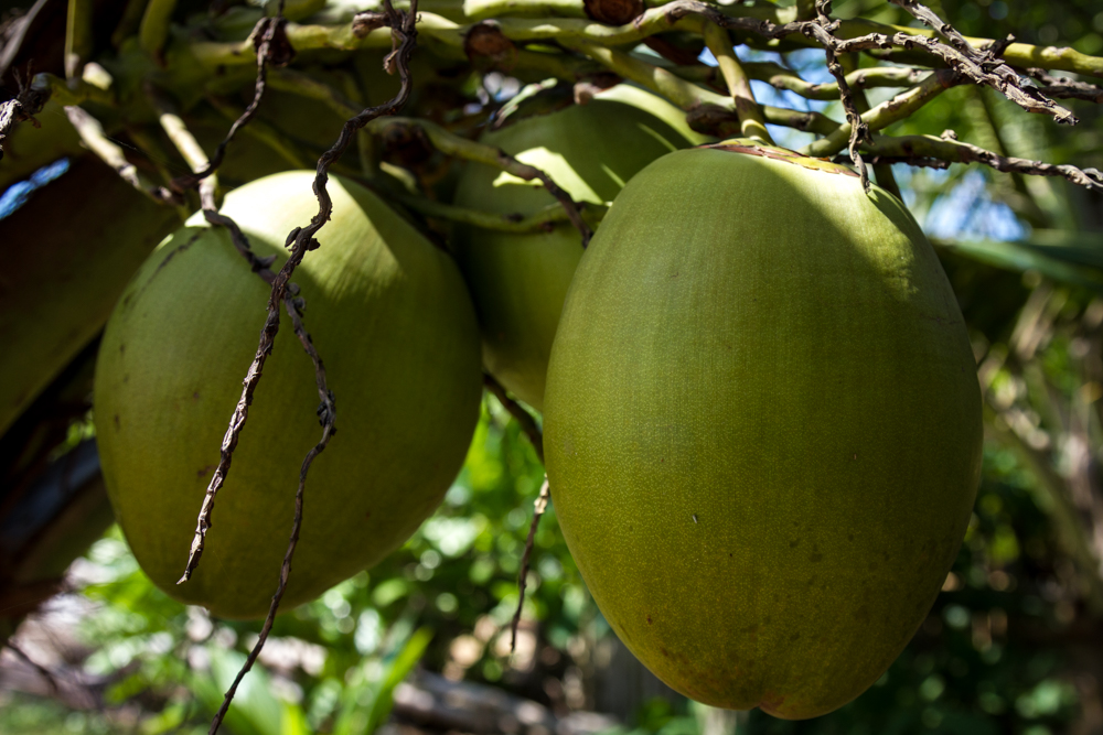 Coconuts, near Negomobo, Sri Lanka