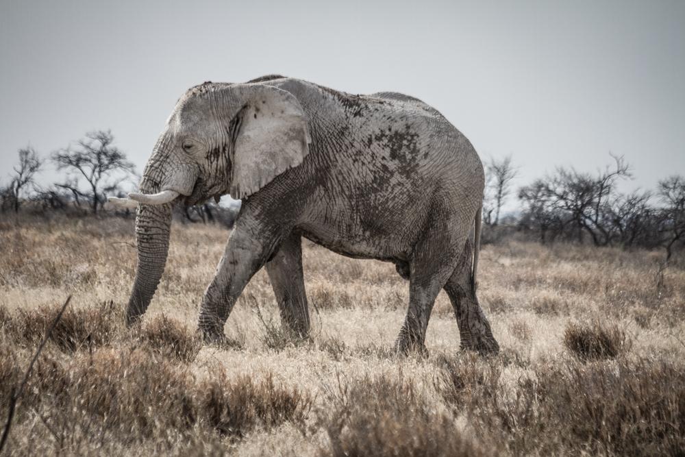 Aging Bull Elephant, Etosha National Park, Namibia