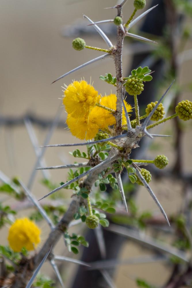 Acacia Flower, Etosha National Park, Namibia