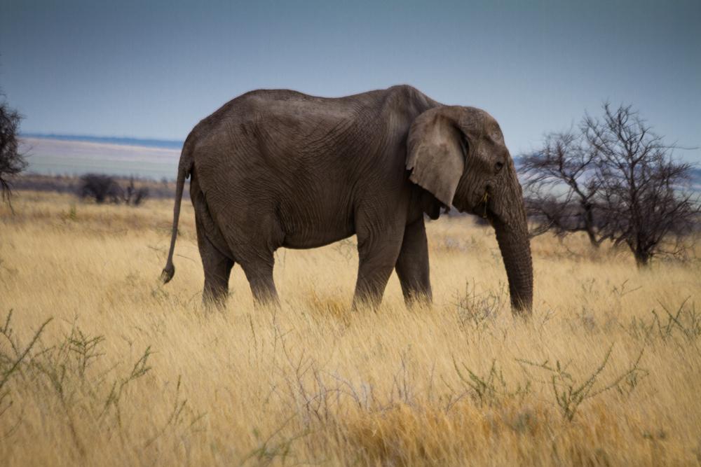 Bull Elephant, Etosha National Park, Namibia