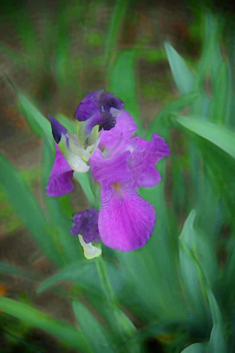 Iris of a kind