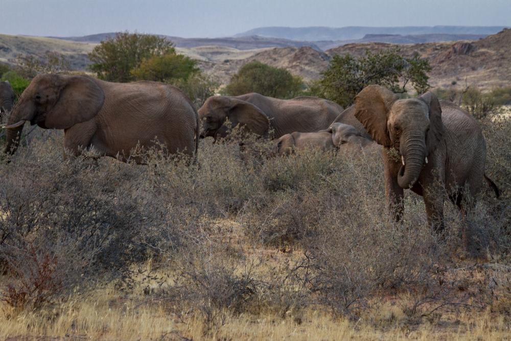 Desert Adapted Elephants, Nambia