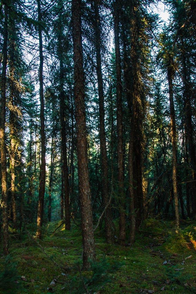 Alaska Spruce Forest